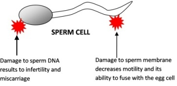 Real cell membrane from a sperm cell